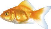 Strijkapplicatie Goud Vis